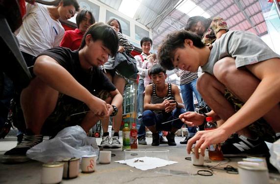 combat de grillons en Chine
